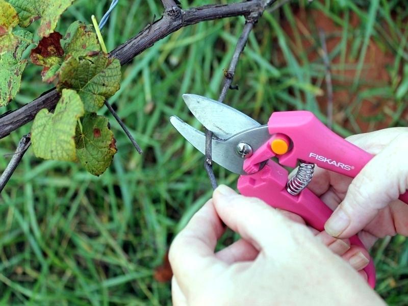 Как обрезать вьющийся виноград