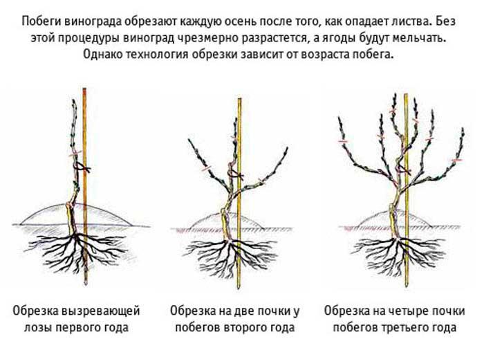 обрезка винограда в первый, второй и третий год