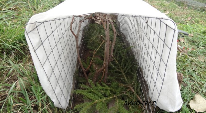 укрытие винограда лапником