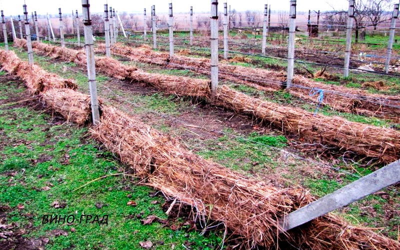 укрытие винограда на зимовку