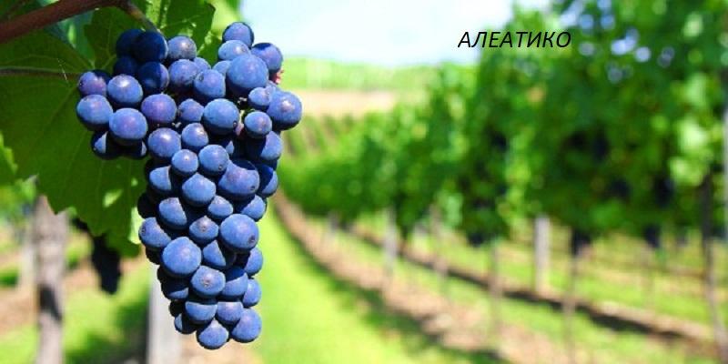 виноград Алеатико для вина