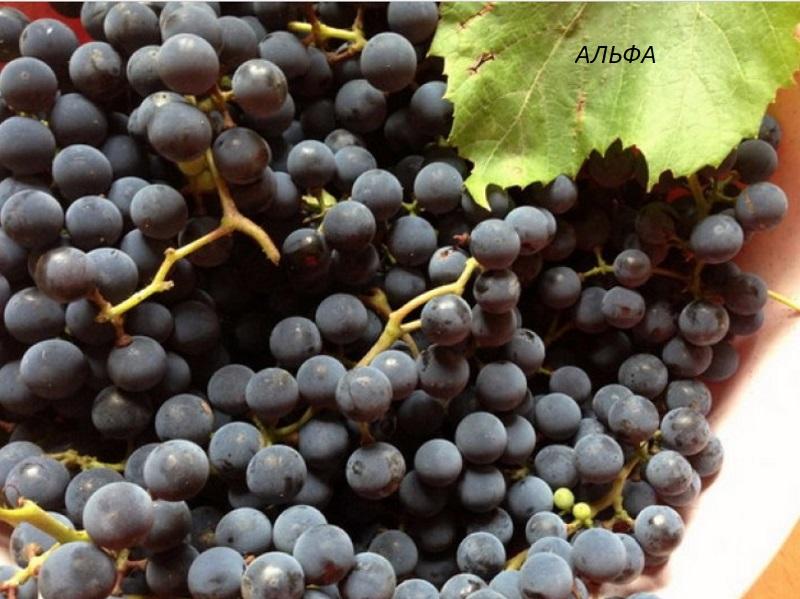 виноград Альфа для вина