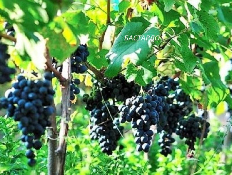 виноград Бастардо для вина