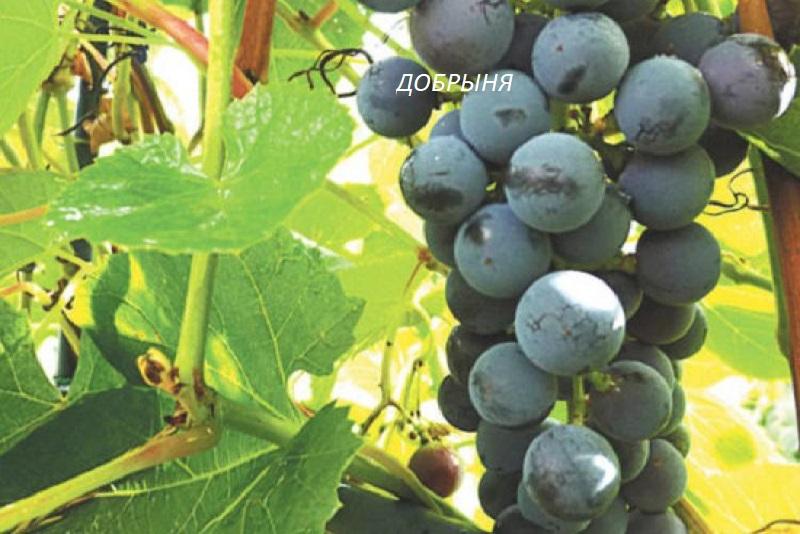виноград Добрыня для вина