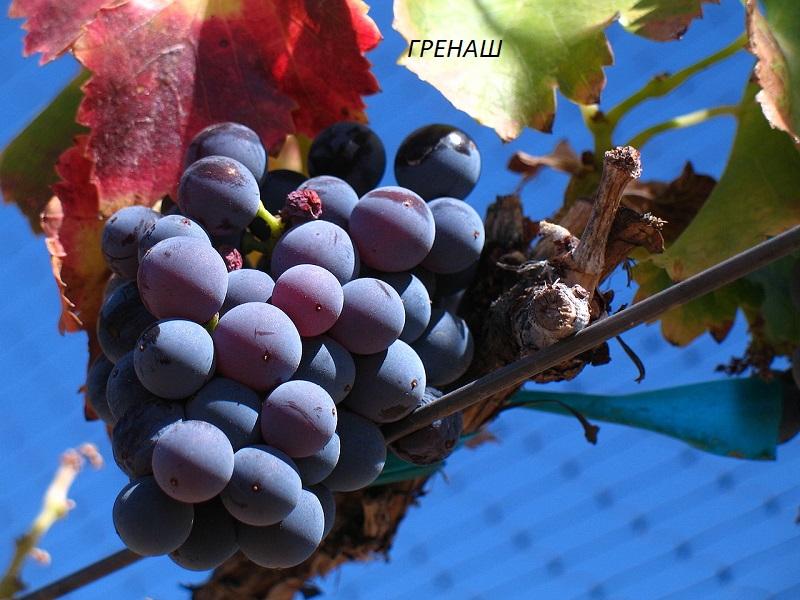 виноград Гренаш для вина
