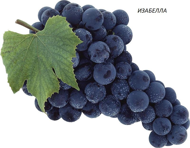 виноград Изабелла для вина