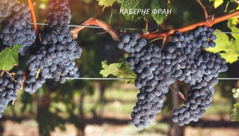 виноград Каберне Фран для вина