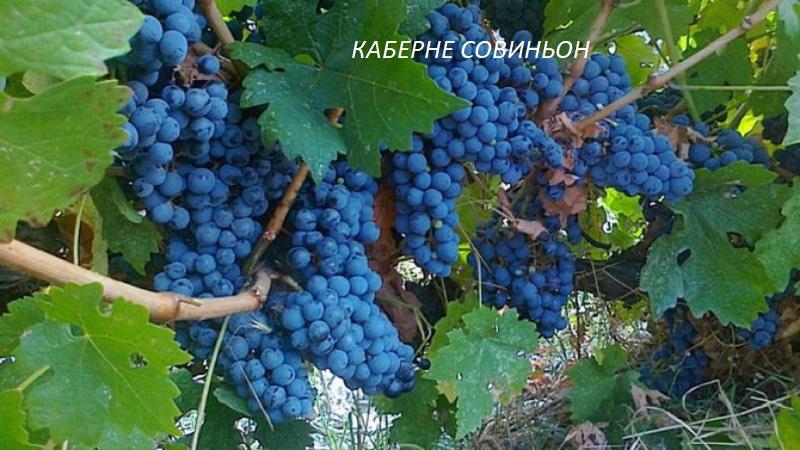 виноград Каберне Совиньон для вина