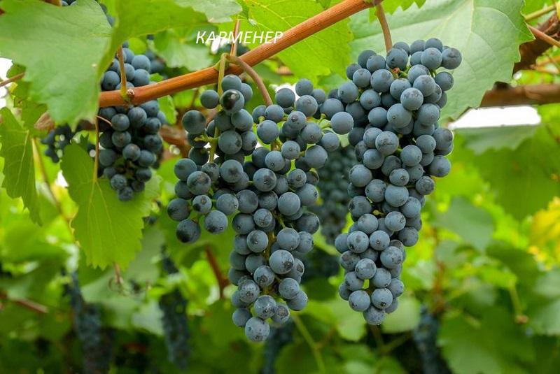 виноград Карменер для вина