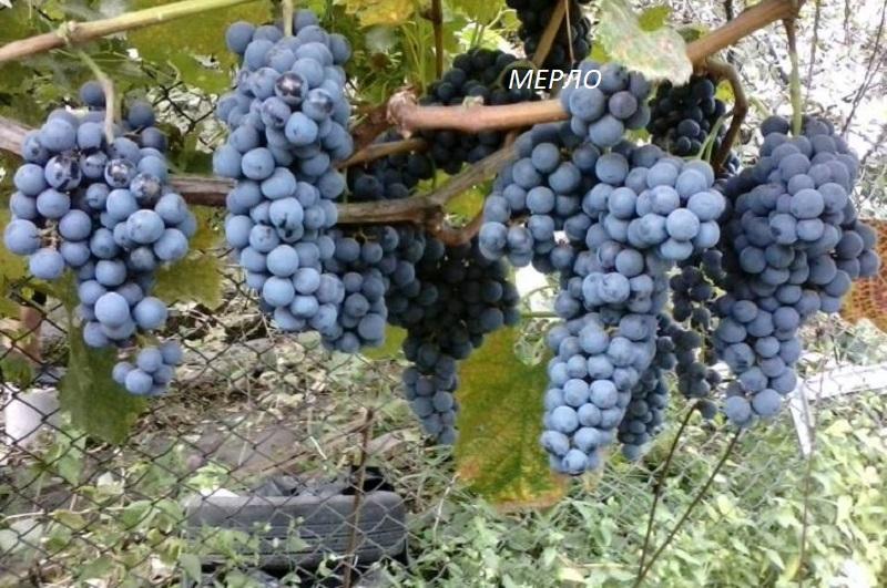 виноград Мерло для вина