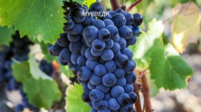 виноград Мурведр для вина