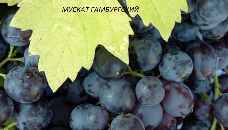 виноград Мускат Гамбургский для вина