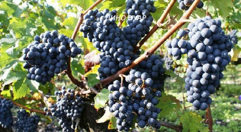виноград Пино Нуар для вина