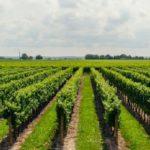 Шпалеры для винограда своими руками, фото