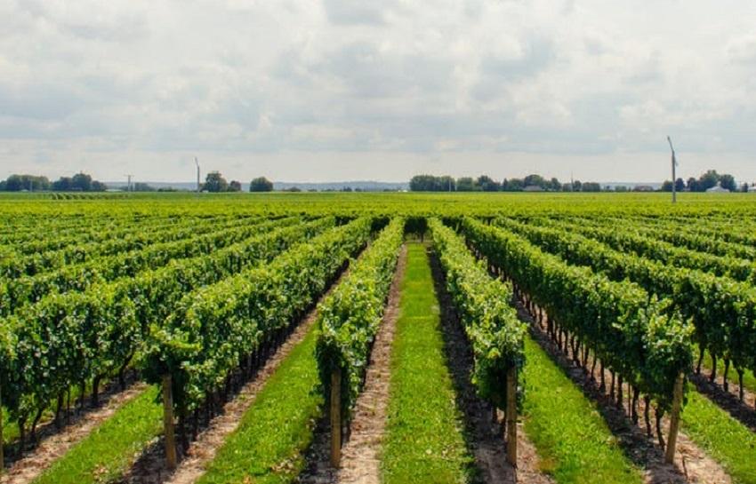 Подвязка винограда к шпалере, формирование куста