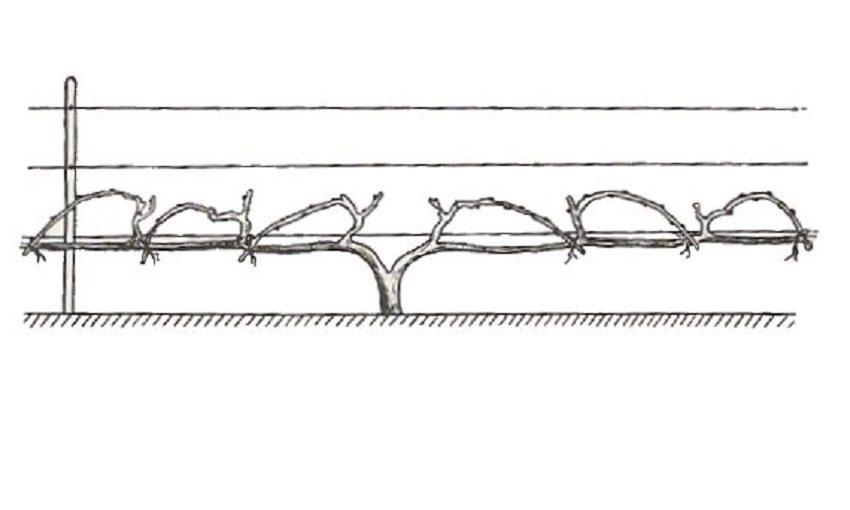 кордонная формировка винограда на два плеча