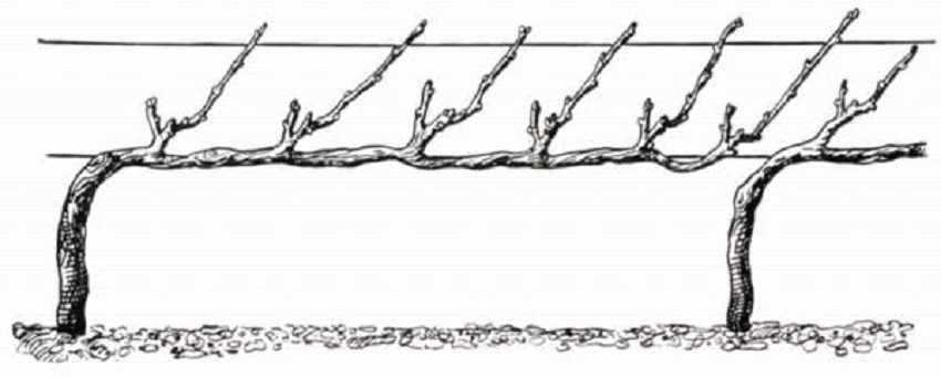 кордонная горизонтальная формировка винограда