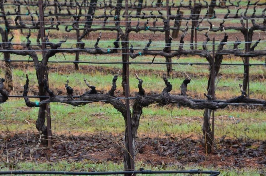 кордонная обрезка винограда