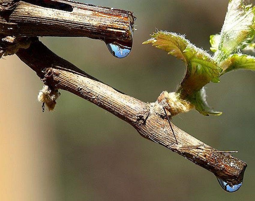 плач виноградной лозы