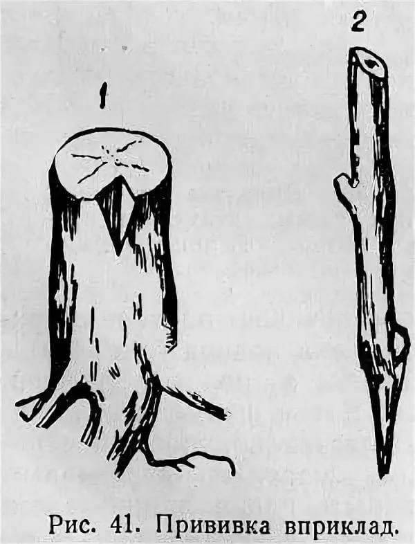 прививка винограда клином