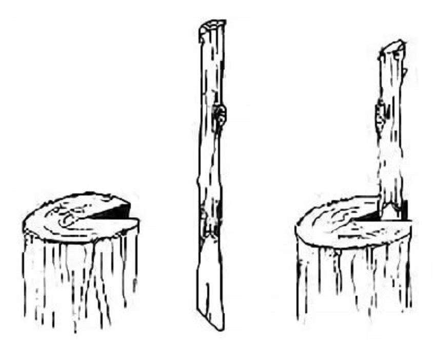 прививка винограда в полурасщеп