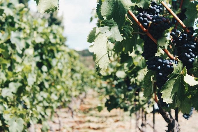 Прививка винограда осенью на старый куст