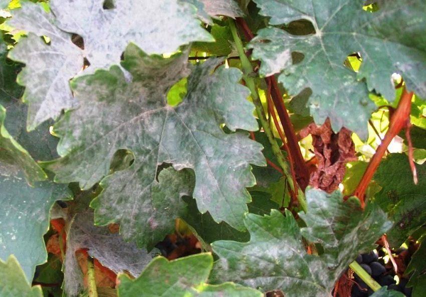 оидиум на листьях винограда