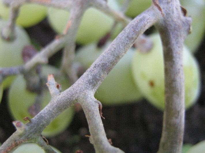 оидиум на побегах винограда