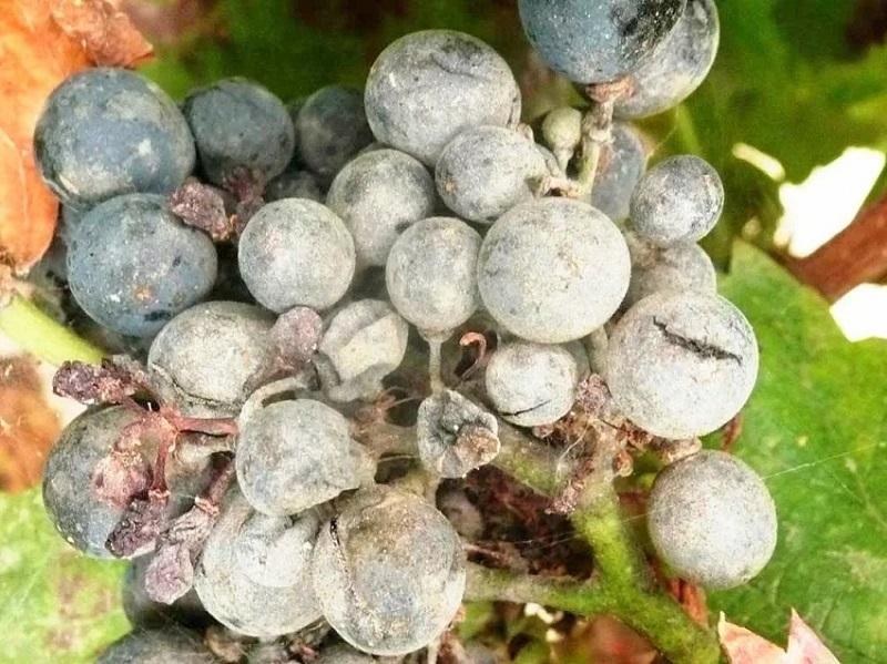оидиум на ягодах винограда
