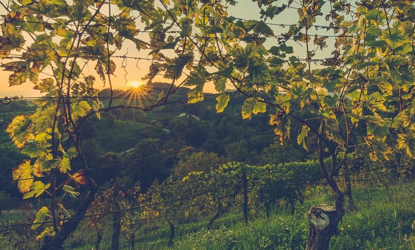 милдью на винограде фото и чем лечить