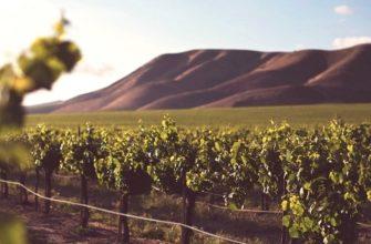 как сажать саженцы винограда осенью