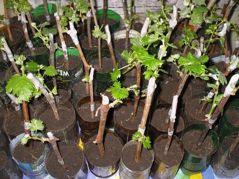 саженцы винограда в горшках