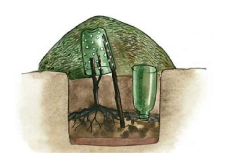 укрытие саженца винограда на зиму